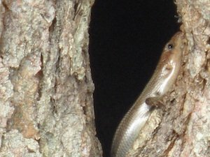 Lizards in a tree